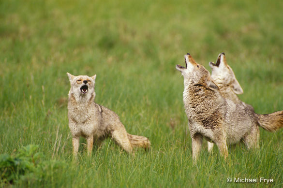 Baby Coyotes Howling