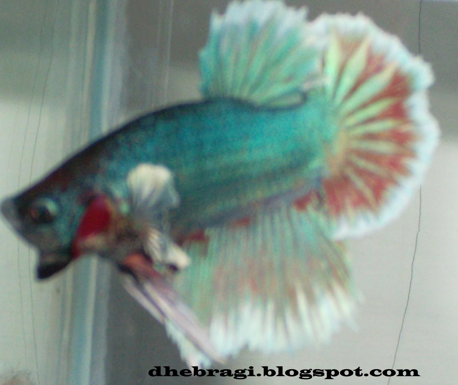 Gambar Ikan Cupang Keren Abis