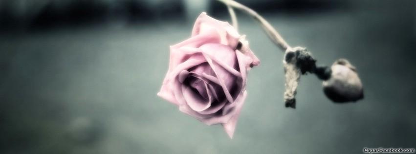 Flores Rosas Capa Para Facebook Capas Linha Tempo Pictures Picture