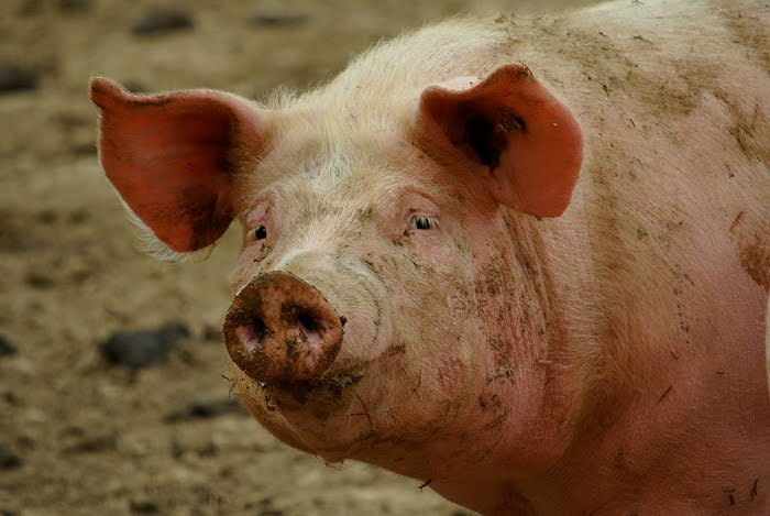 Un jour une photo t te de cochon - Tete de cochon a colorier ...