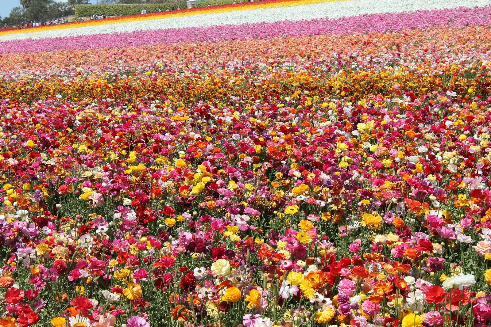 mackenzie charlotte Carlsbad Flower Fields