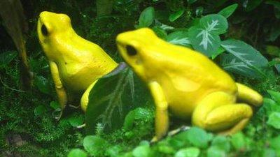 Rã-Dardo-Dourada (Phyllobates terribilis)