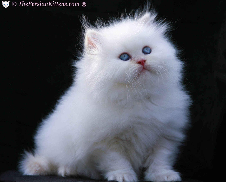 current affairS: Himalayan cat