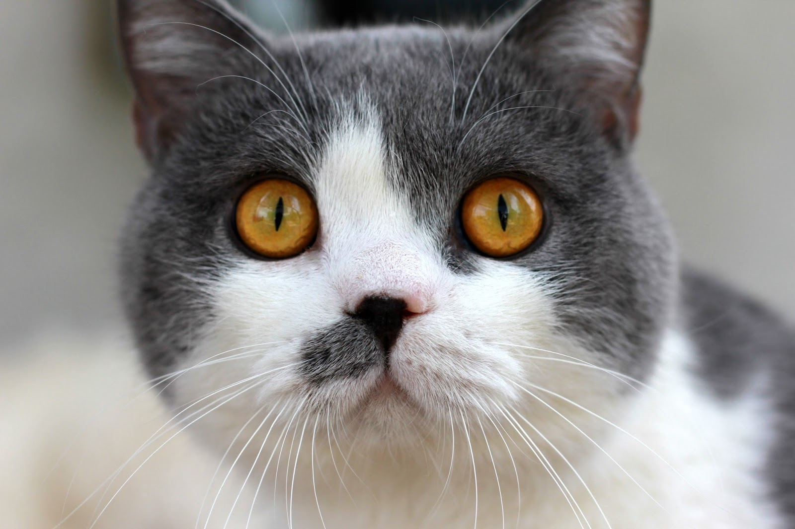 British Shorthair Colors