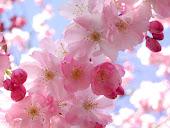 my sakura