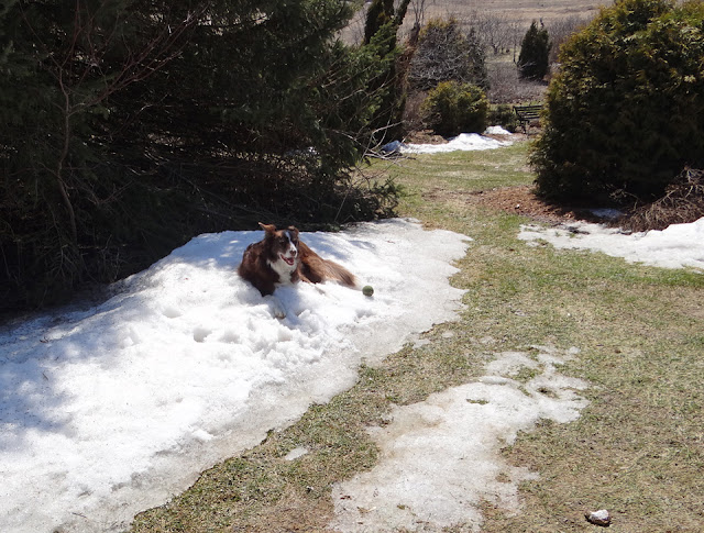 Lizzy lounging in snow on a warm April day.