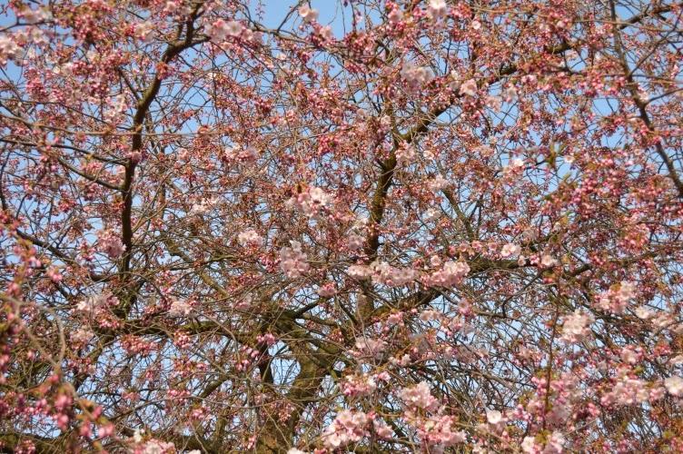 sakura, pink
