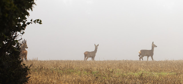 Roe deer, Capreolus capreolus,  in a field between the High Elms estate and North End Lane.  3 October 2015.