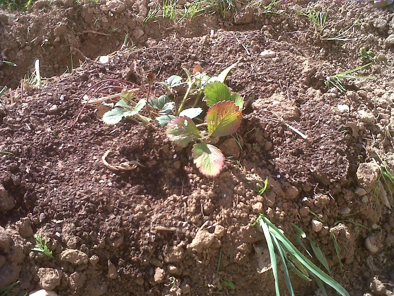 La Huerta Ecol Gica De Ana Cultivo De Fresas ~ Como Hacer Una Huerta Ecologica