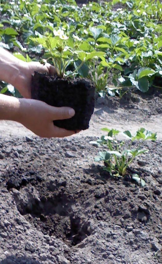 Когда сажать клубнику весной или осенью 77