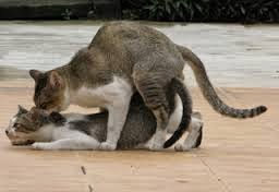 Cat having sex mating