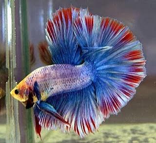 gambar ikan cupang manis