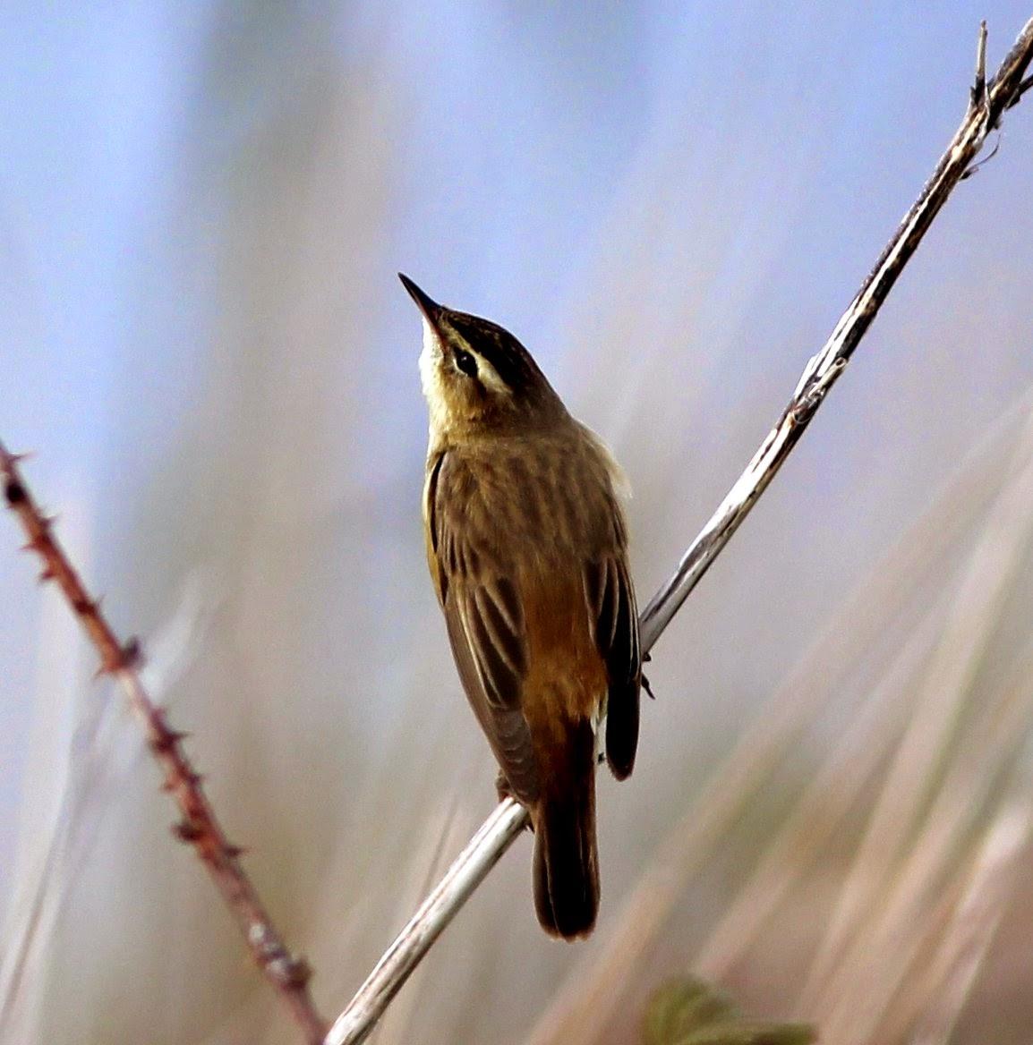 Soil Hill Sedge Warbler
