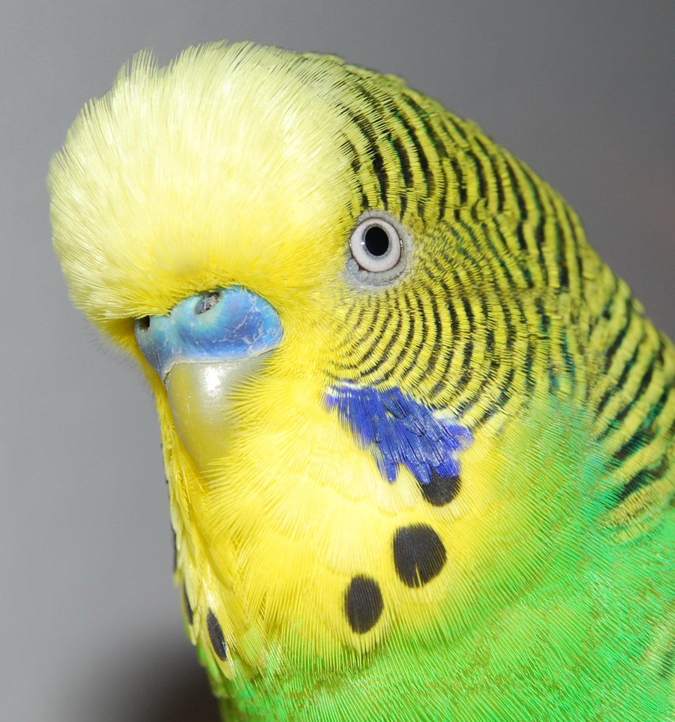 Detail_shot_of_budgerigars_head.jpg