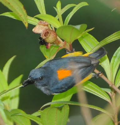 Orange-breasted Flowerpecker (Dicaeum trigonostigma)