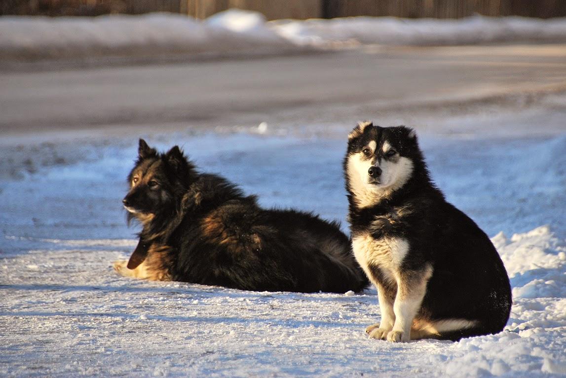 собаки в Лысьве