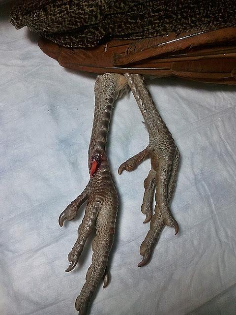 fractura de tarsometatarso en pavo real 1