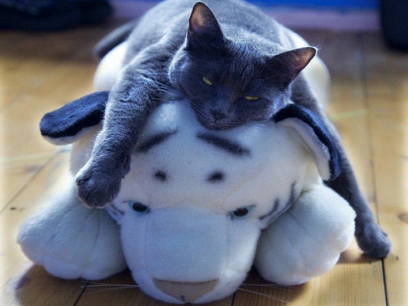 Кот говорит о вреде американской культуры и любви к кошкам