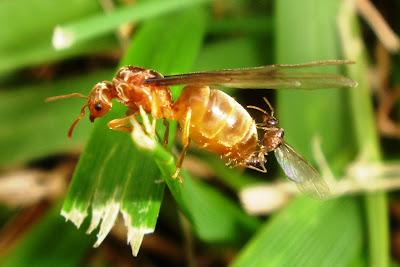 النمل اثناء التزاوج