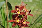 Altra orchidea rifiorita