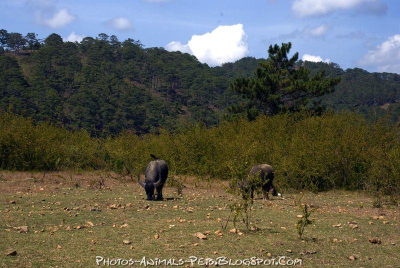 http://4.bp.blogspot.com/-A4dHcCiBE2o/Tts3i0JfcrI/AAAAAAAACXA/fPCO_IQILEQ/s1600/buffalo.jpg