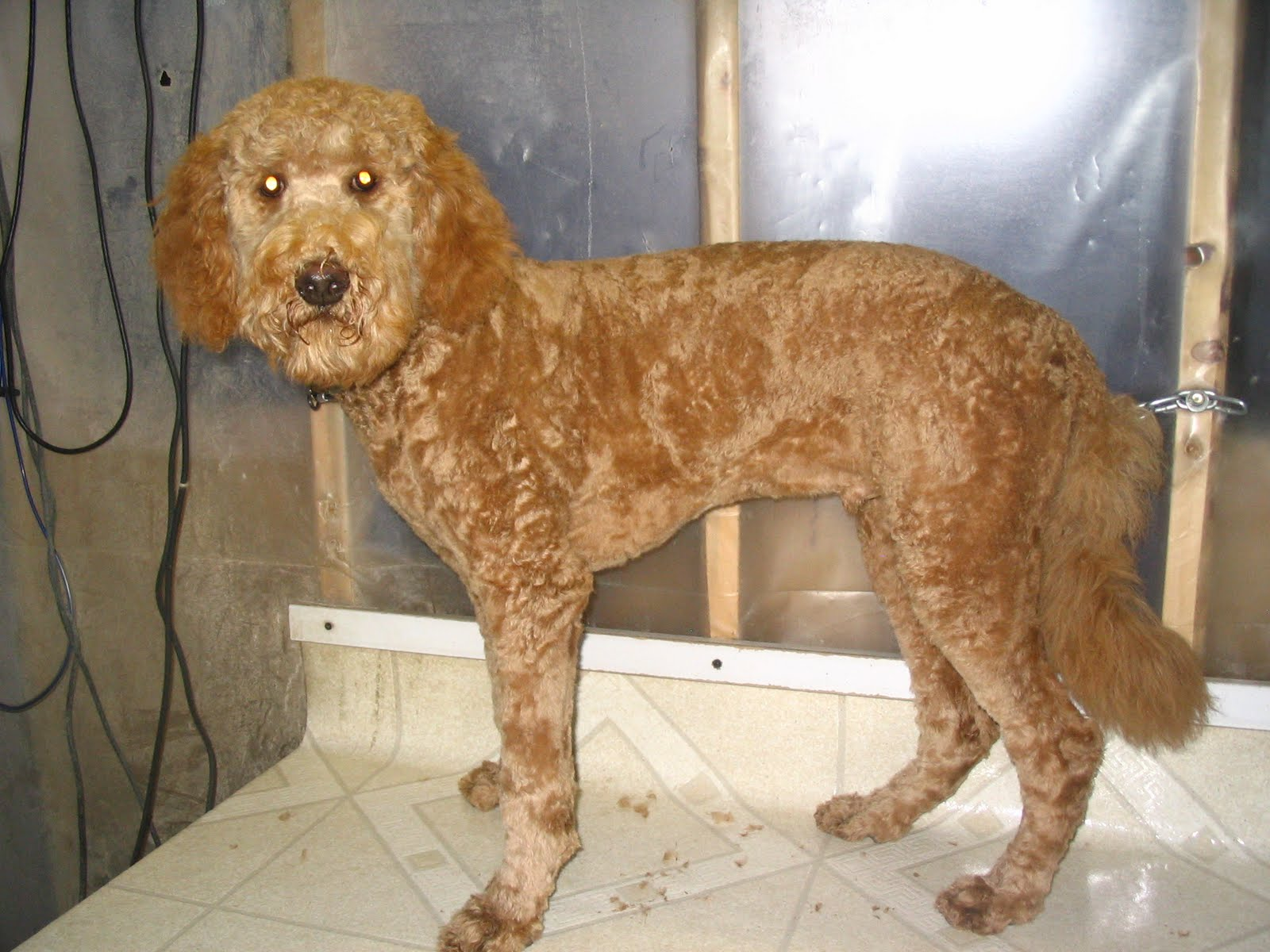 Labradoodle+grooming+photos