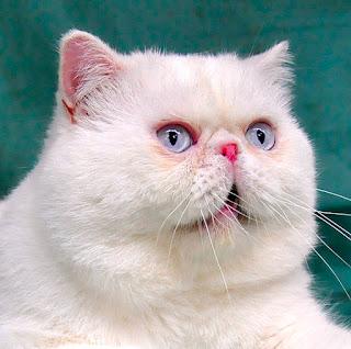 jual beli kucing persia