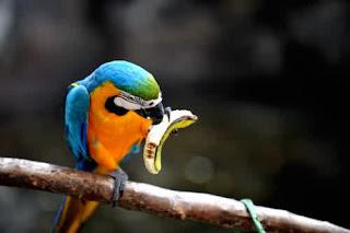 burung nuri