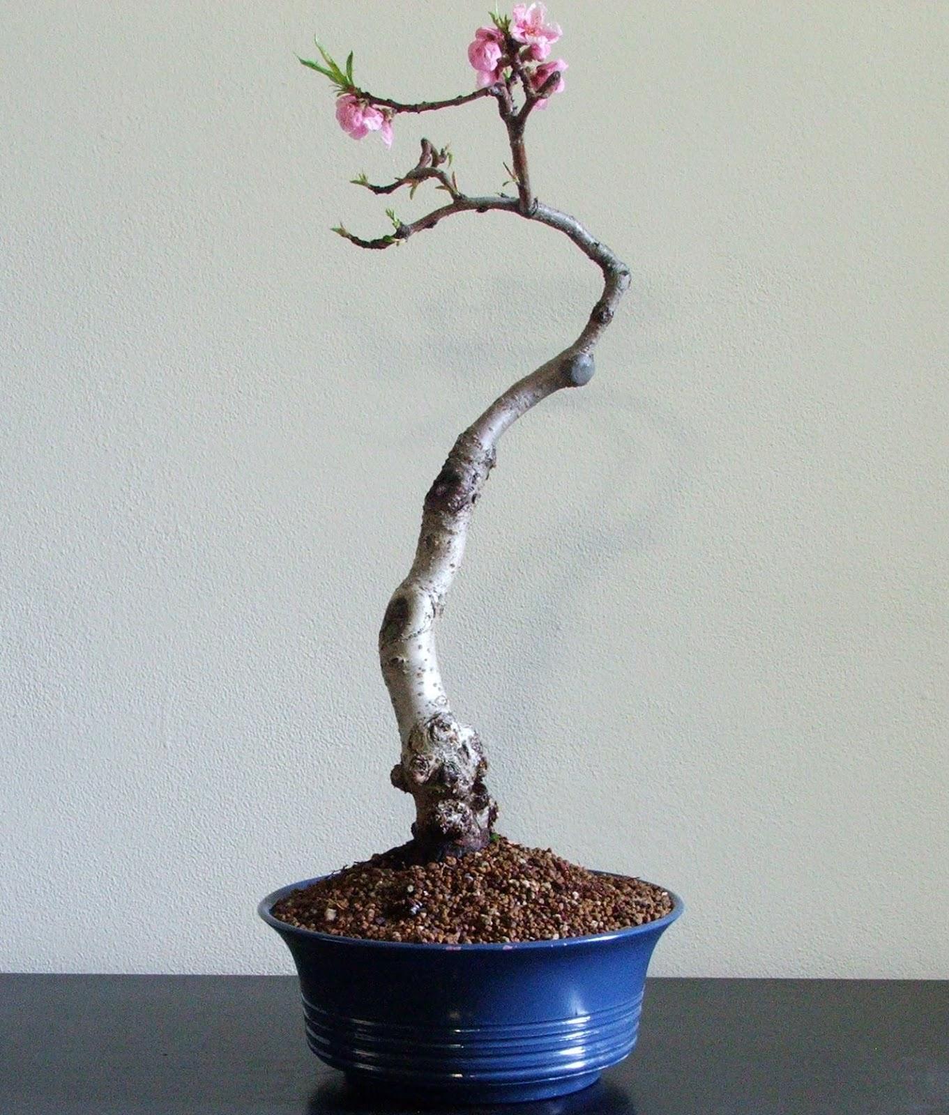 Evoluzione Bonsai Bonsai Di Pesco Peach Prunus Persica
