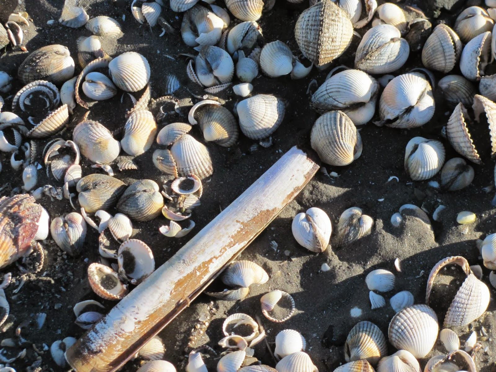Shells at Sandymount Strand in Dublin, Ireland