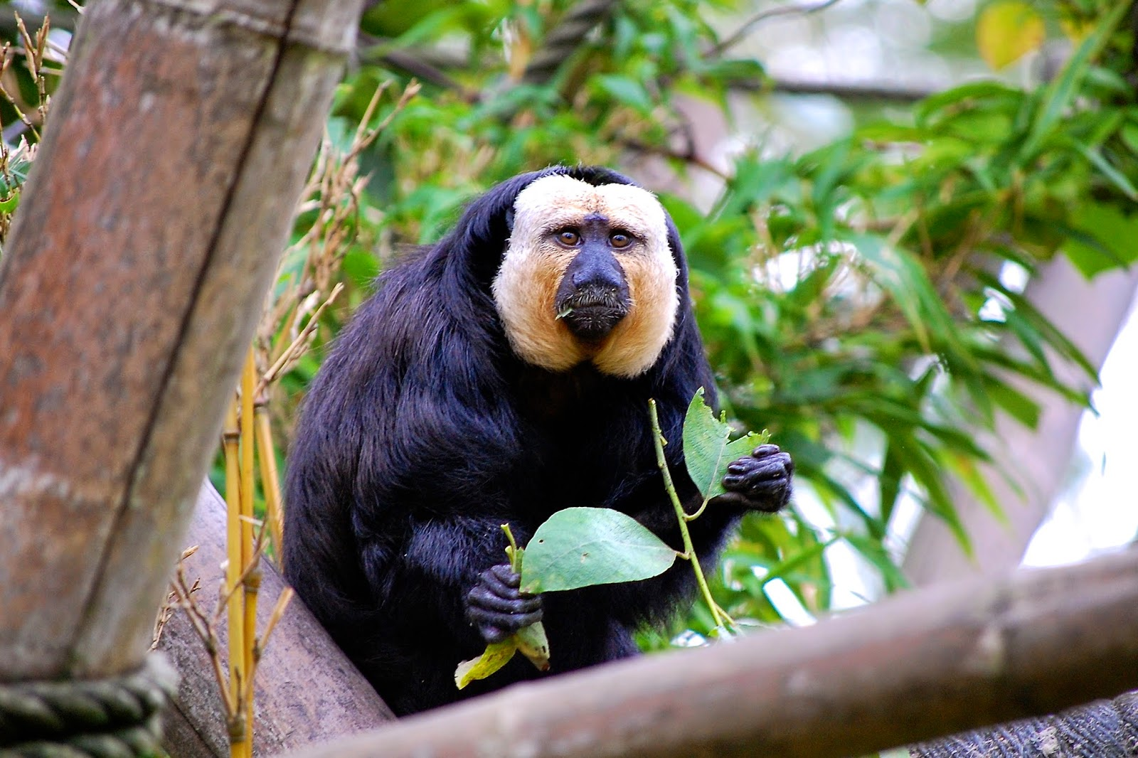A white-faced saki in Edinburgh Zoo