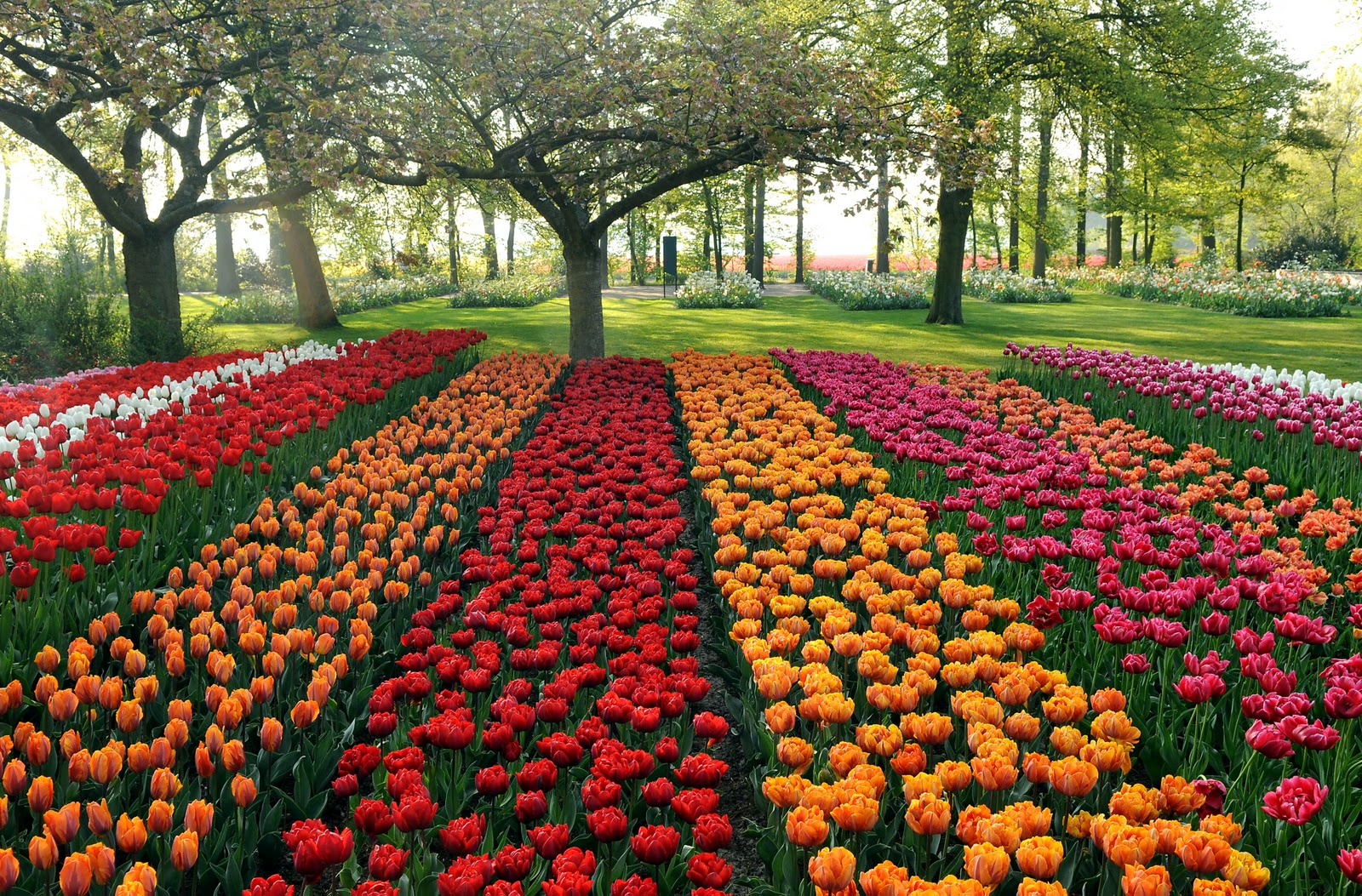exciting color colorful keukenhof tulip gardens 10. Black Bedroom Furniture Sets. Home Design Ideas