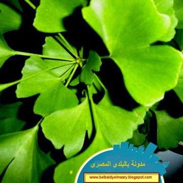 تعرف على نبات الجينكو بليوبا واهميته الصحيه والعلاجيه