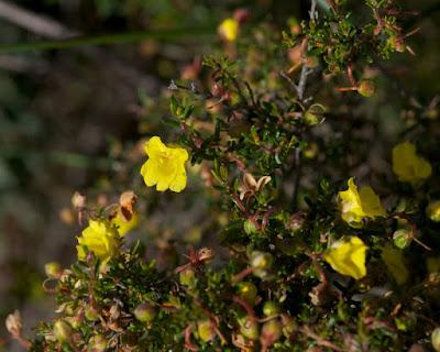 Yellow Buttercups (Hibbertia hypericoides)