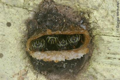 Espécie muito bela (Paratrigona peltata)