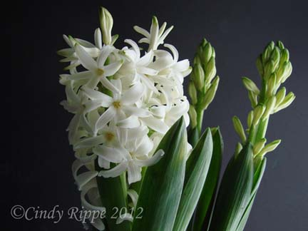 Hyacinths, White Spring Flowers, Florals-Family-Faith, Cindy Rippe