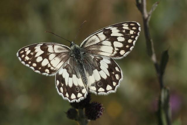 anadolu melikesi kelebeği