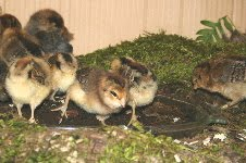 Baby Chickies like Stumpdirt