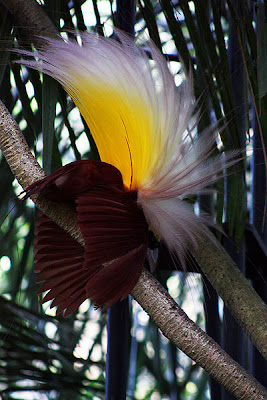 foto bali bird of paradise
