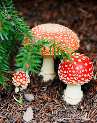 Hongos rojos listos para comer - Delicious Mushrooms