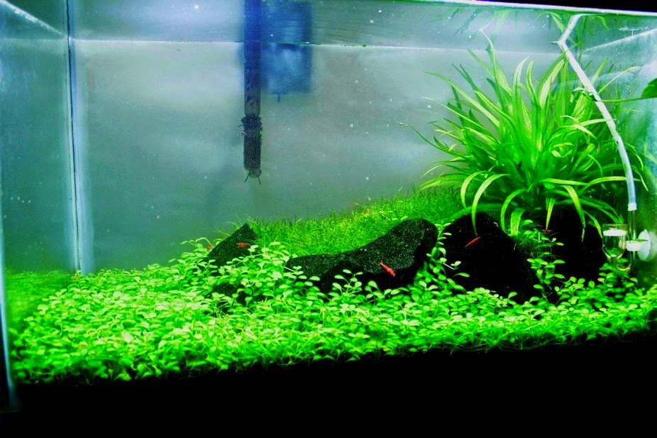 Tipos de plantas para acuarios jdb for Plantas de acuario