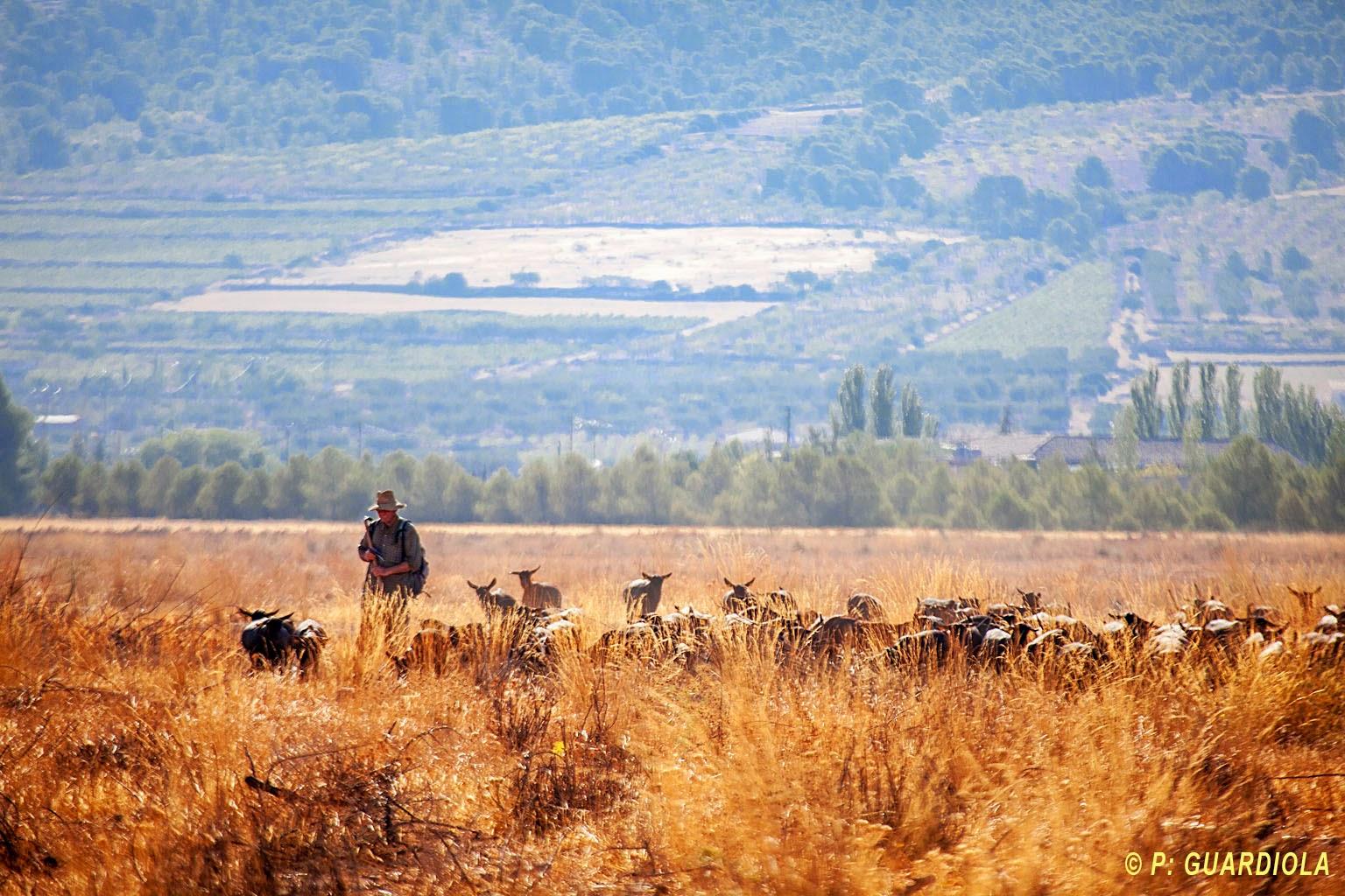 Cabras murciano granadinas en Jumilla