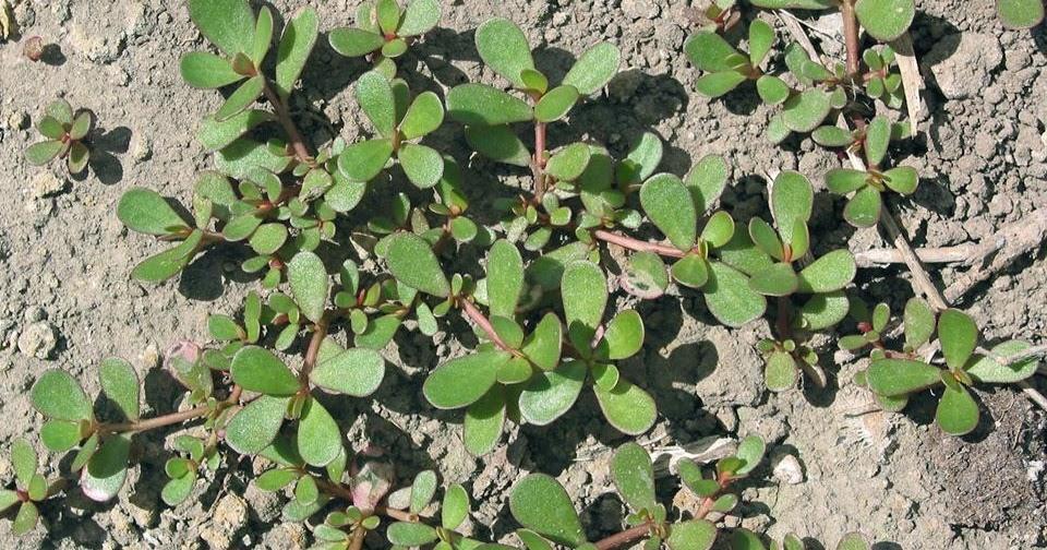 Golosona portulaca propriet e benefici for Portulaca commestibile