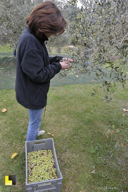Sylvie Blachier cueillette à la main des olives photo blachier pascal