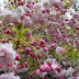 Apple Blossom Flowers images