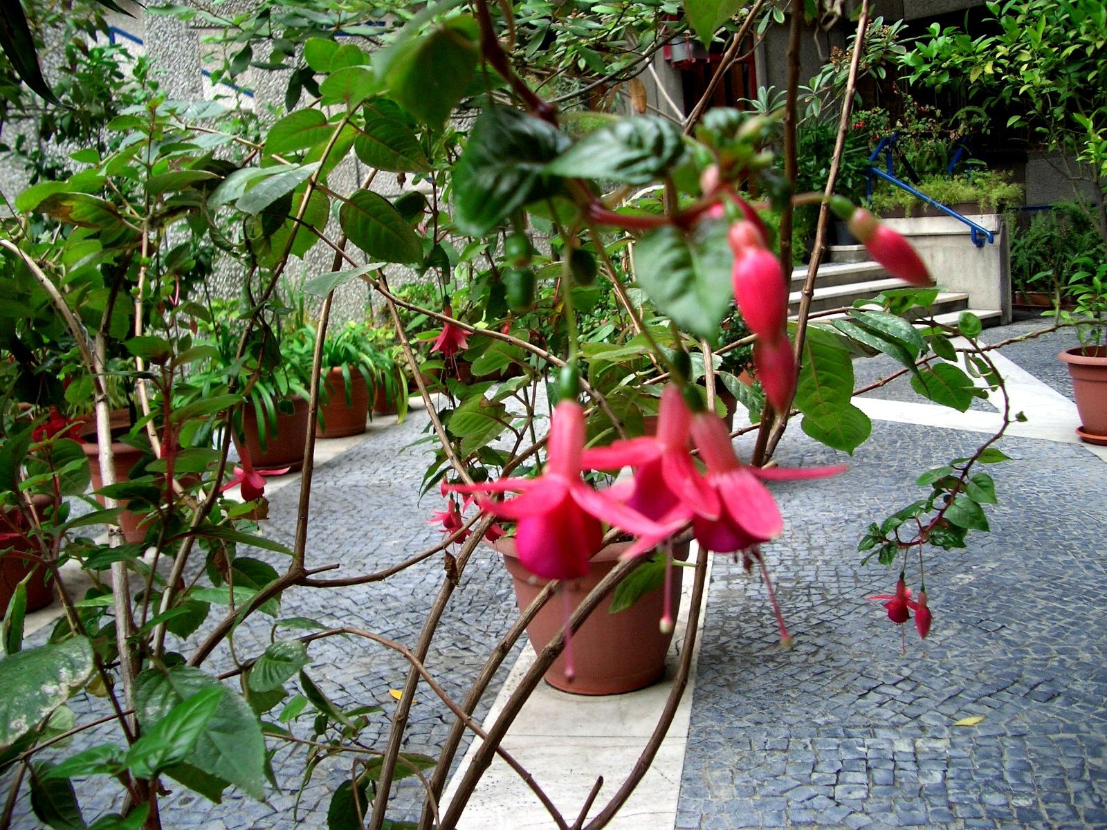 Bolotas guardadas brincos de princesa f csia - Planta de exterior resistente ...