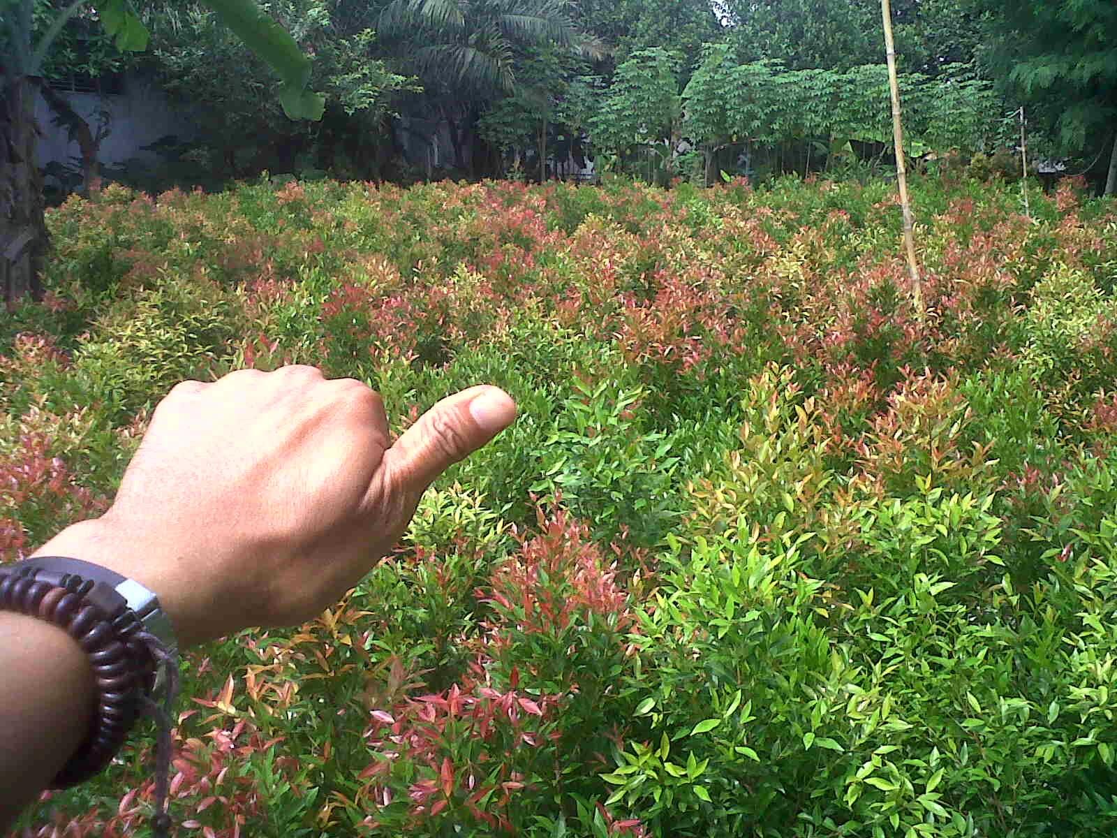 pohon pucuk merah murah