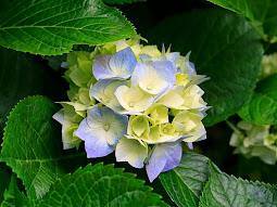 Ljuva Hortensia