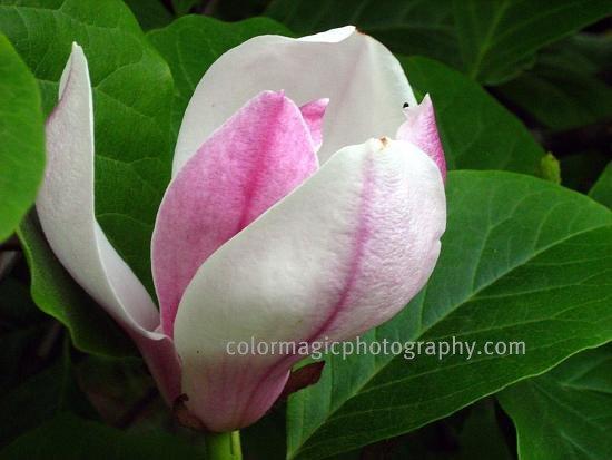 Magnolia bud-macro