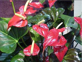 planta anthurium, plantas para terraza, plantas de terraza, plantas de sombra, plantas para balcón, hojas de la  planta anthurium